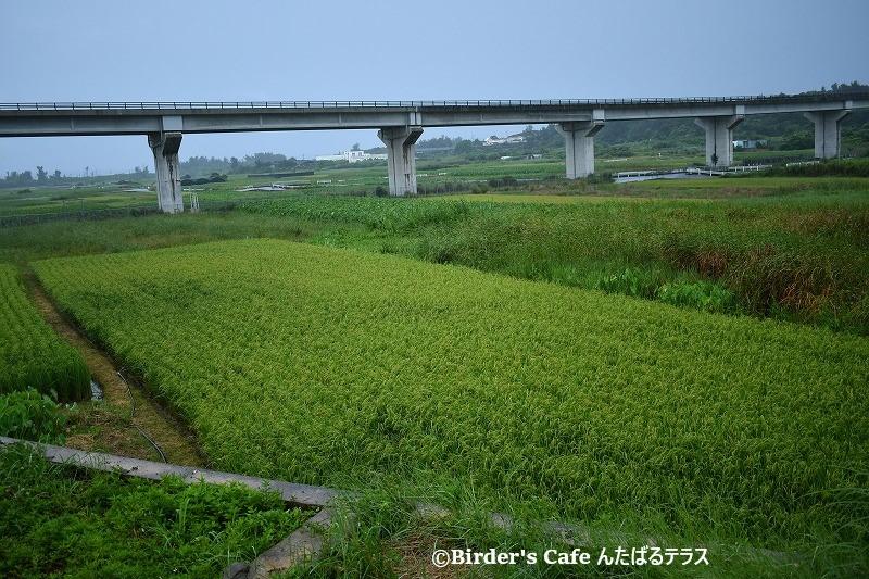 金武町の田芋畑
