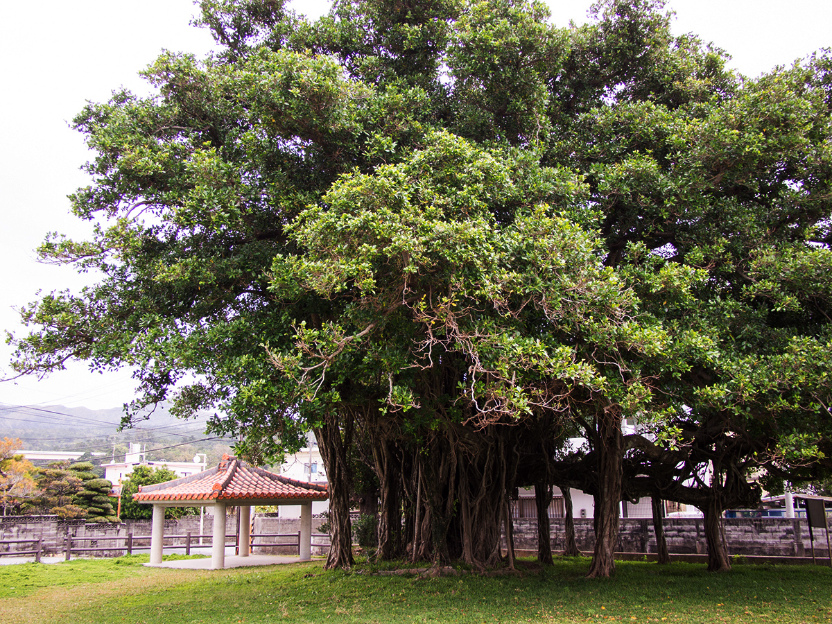 Banyan of Igei