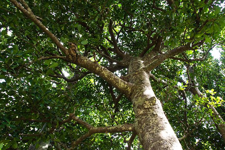 The Fukugi tree in Kannon-ji