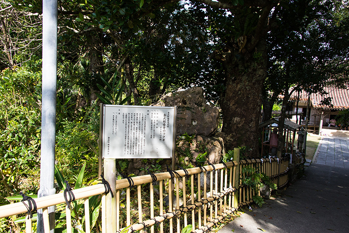 El árbol Fukugi en Kannon-ji