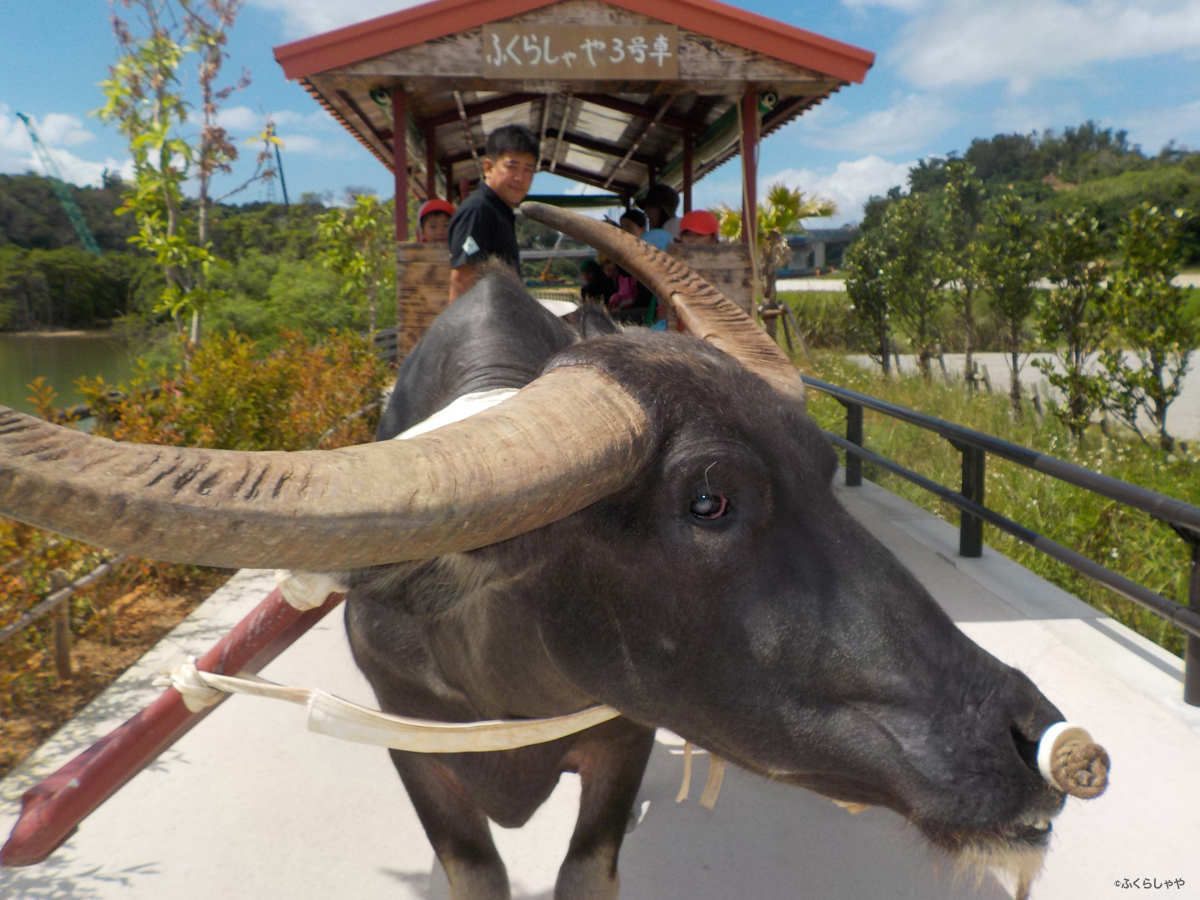 Water Buffalo Tour of the Mangroves (Fukurasha-ya)