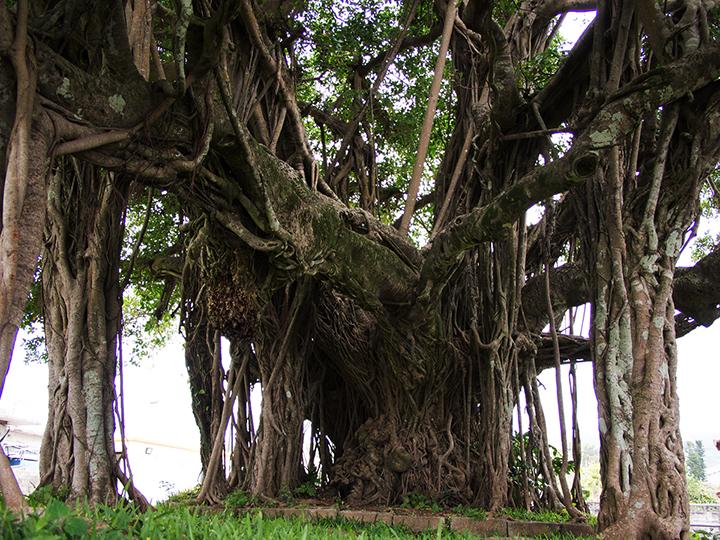 伊芸的榕樹